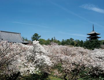桜の家紋の由来(意味)や種類、桜の家紋を使った武将をご紹介します